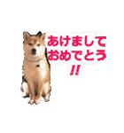 【期間限定】動く柴犬平成31年ご挨拶編(個別スタンプ:01)