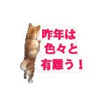 【期間限定】動く柴犬平成31年ご挨拶編(個別スタンプ:02)