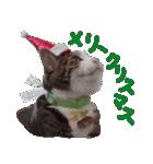 実写!はちわれ猫冬のイベントスタンプ(個別スタンプ:01)