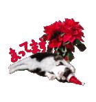 実写!はちわれ猫冬のイベントスタンプ(個別スタンプ:13)