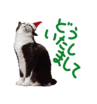 実写!はちわれ猫冬のイベントスタンプ(個別スタンプ:15)