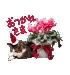 実写!はちわれ猫冬のイベントスタンプ(個別スタンプ:20)