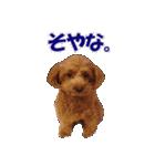 トイプードルのモコちゃん【実写版2】