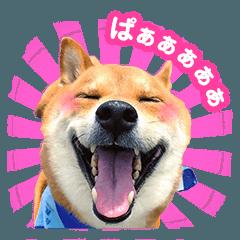 のんびり柴犬のダフ Vol.1 日常会話編