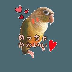 チワワとインコ関西弁日常☆