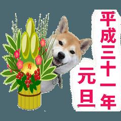 【期間限定】動く柴犬平成31年ご挨拶編