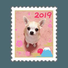 2019 スムースチワワ