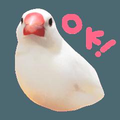白文鳥もち