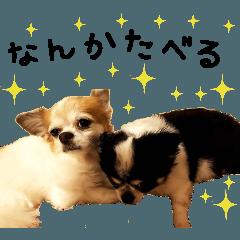 チワワ(キキ・ララ)
