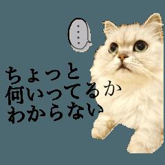 ペルシャ猫 ショコラ