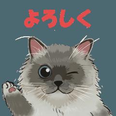 もふかわ猫ラグドール