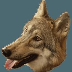 JCW狼犬ブーリ ① Wolfdog