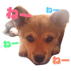 shiba×corgi まかちゃん