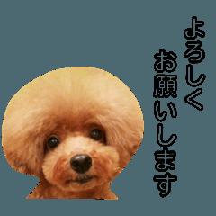【トイプードル】Prinz's Life