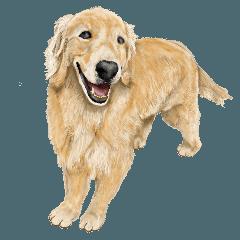 [LINEスタンプ] 優しい犬!5永遠のゴールデンレトリバー