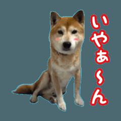 柴犬ロビン2
